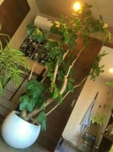 cozy 観葉植物 ツピタンサス