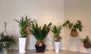 cozy 熊本 観葉植物 レピスミウムボリビアナム